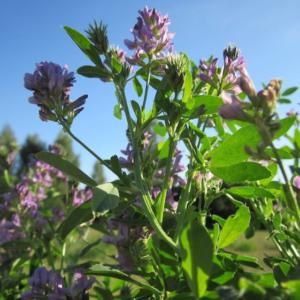 Projekt zur Aufwertung von Bio Luzerne